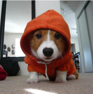 corgi pup in hoodie